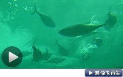 長崎で稼働したクロマグロの陸上採卵施設。4年後に約10万匹の幼魚を供給できる技術の確立を目指す